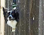 Border Collie peeking through broken fence