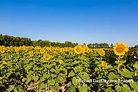 63801-11119 Sunflowers in field Jasper Co.  IL