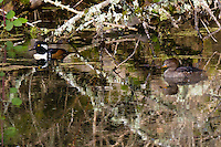 A male and female Hooded Merganser (Lophodytes cucullatus) are hiding among the branches of a stream with reflections in the water of the birds and branches in the Ridgefield National Wildlife Refuge.