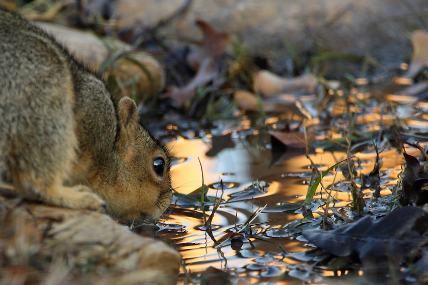 Texas Fox Squirrel at first light, getting its first drink of water..