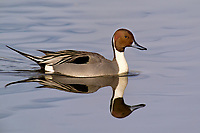 571350002 a wild drake northern pintail swims anas acuta swims in a shallow pond at colusa national wildlife refuge califonai