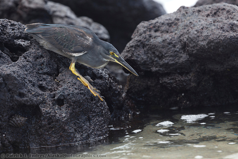 Lava heron, Isabella Island, Galapagos Islands, Ecuador
