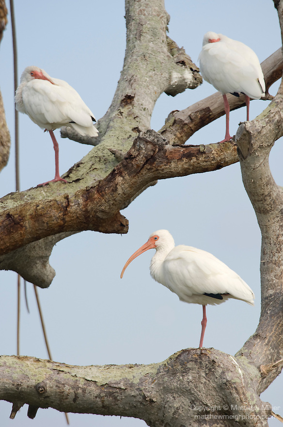 Captiva Island, Florida; three adult White ibis (Eudocimus albus) birds standing perched in a tree © Matthew Meier Photography, matthewmeierphoto.com All Rights Reserved