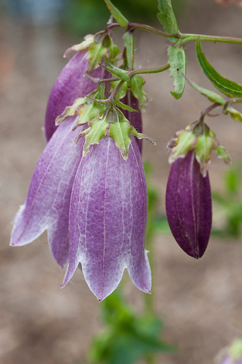 Spotted bellflower (Campanula punctata 'Pantaloons'), early August.