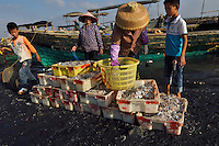 The fisherwomen and children take care of the catch and bring it to the fish collection point, Shi Ma Jiao harbour, Guangdong province, China