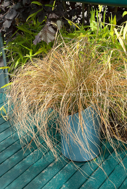 Ornamental grass Carex comans 'Bronze' in pot planter container on deck