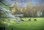 Great Smoky Mountains National Park, Tennessee: Morning sun filters into a Cades Cove pasture, with a flowering dogwood (Cornus florida)