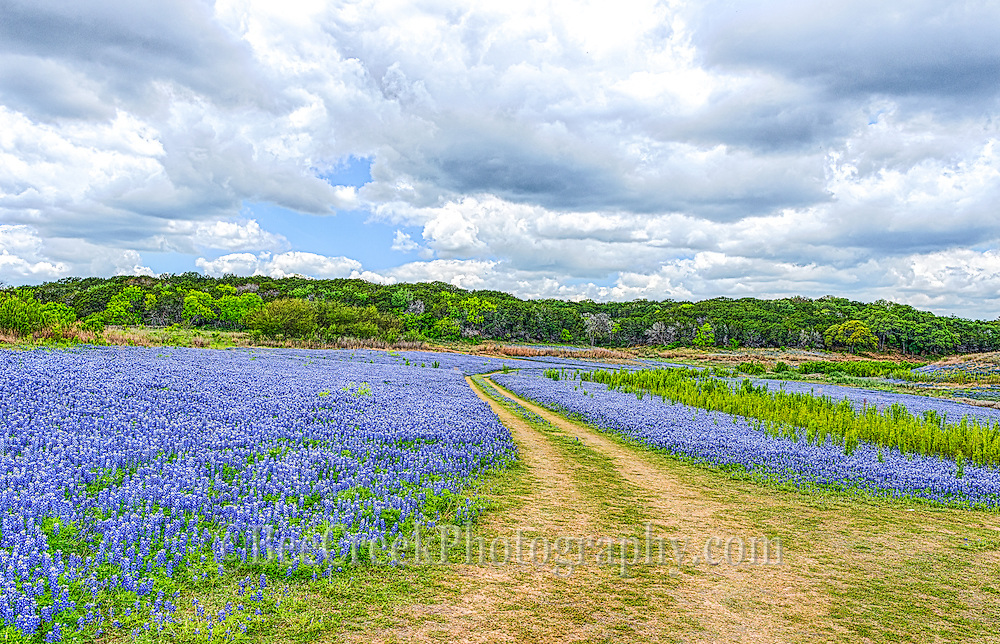 A Road of Bluebonnets at Muleshoe Park in the Texas Hill Country.  Normally this area would be under water but the drought has brought us a pleasant surprise with endless bluebonnets.