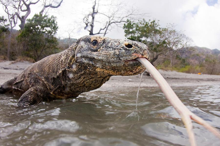 Komodo dragons, Varanus komodoensis, are the worlds largest lizards. Rinca Island, Komodo National Park, Indonesia.