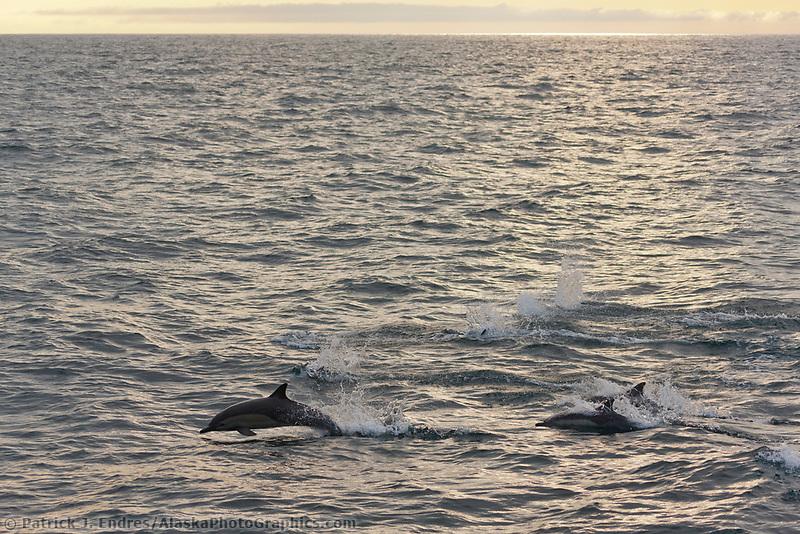 Common bottlenose dolphin, off the coast of Isabella Island, Galapagos Islands, Ecuador
