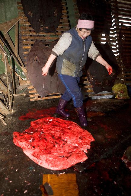A Yupik Eskimo woman prpares to clean a sealskin. New Chaplino, Chukotskiy Peninsula, Chukotka, Siberia, Russia
