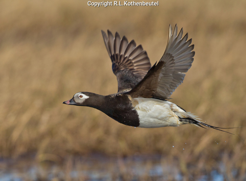 Long-tailed duck drake in summer plumage flying over the Alaskan tundra<br />