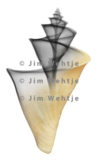 Blended x-ray image of a Japanese wonder shell (Thatcheria mirabilis, on white) by Jim Wehtje, specialist in x-ray art and design images.