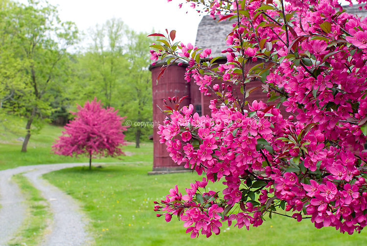 Beautiful red barn silo lawn trees dark pink crabapple malus crabapples in bloom in spring pink with barn mightylinksfo