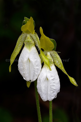 A pair of White variety Pink Lady's Slippers in the rain.