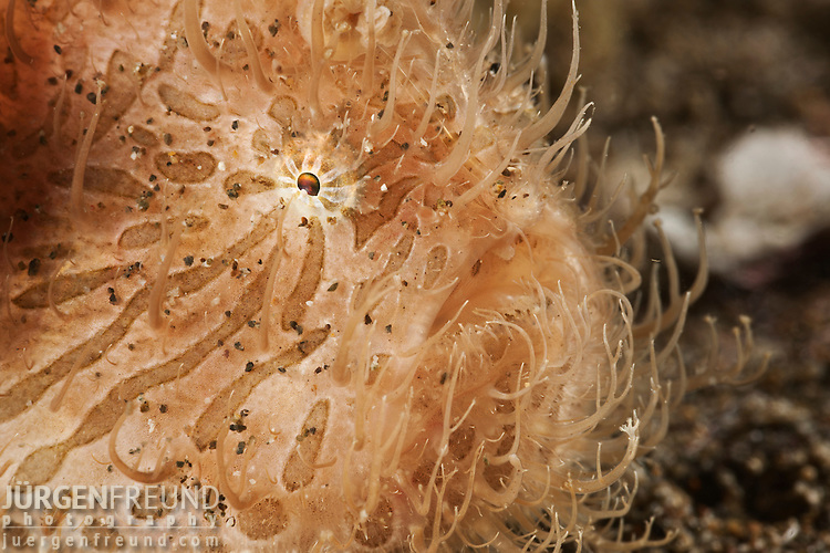 Striated or hairy frogfish (Antennarius striatus)