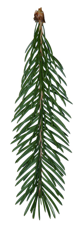 White Spruce Picea glauca (Pinaceae) HEIGHT to 24m <br /> Narrowly conical evergreen, but broadening with maturity. BARK Purple-grey with roughly circular scales. BRANCHES Turn upwards at tips, bearing hairless, greyish twigs and blunt buds. LEAVES Pointed needles, 4-angled,to 1.3 cm long, pale green (sometimes bluish), and smelling unpleasantly to some when crushed. REPRODUCTIVE PARTS Female cones are about 6cm long and 2cm across, cylindrical, pendent and orange-brown when ripe, with rounded margins to scales. STATUS AND DISTRIBUTION Native northern North America, widely planted here for timber and ornament in Britain.