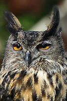 Eurasian Eagle Owl, Bubo bubo Portland Zoo, captive