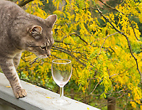 Gift card photo of curious cat sniffing wine glass with Fall colors in leaves of trees in the Willamette Valley, Oregon