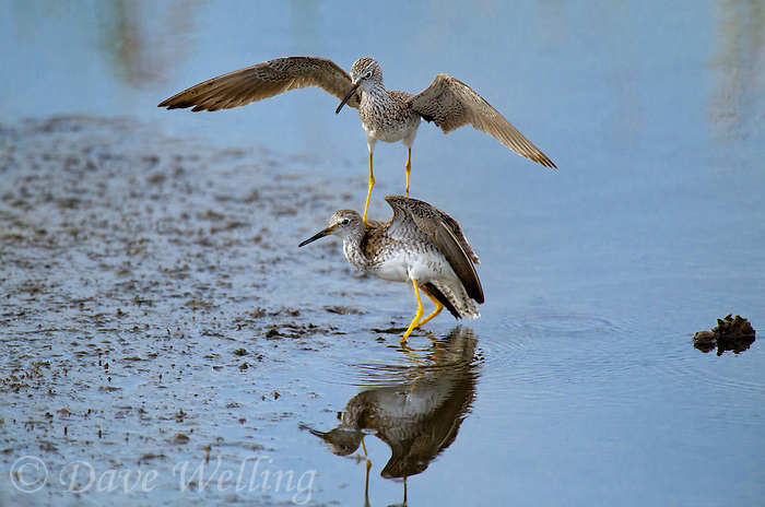 598250008 a pair of male lesser yellowlegs tringa flavipes engage in dominance display and fighting in a small pond on south padre island cameron county texas united states