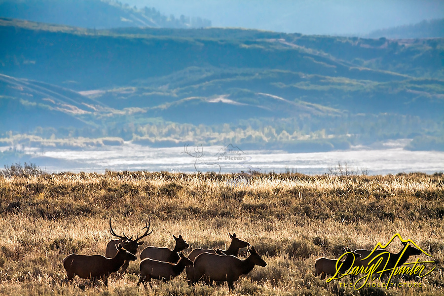 The Elk Rut, Jackson Hole, Wyoming