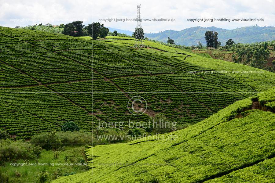 UGANDA, Kasese, tea plantation / Fahrt von Kasese nach Mbarara, Teeplantagen