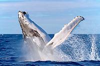 Kingdom of Tonga, Vava'u, Humpback whale (Megaptera novaeangliae) breaching