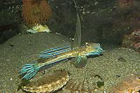 Gestreifter Leierfisch, Gewöhnlicher Leierfisch, Europäischer Leierfisch, Männchen mit aufgerichteter 1. Rückenflosse, Callionymus lyra, syn. Callionymus dracunculus, common dragonet