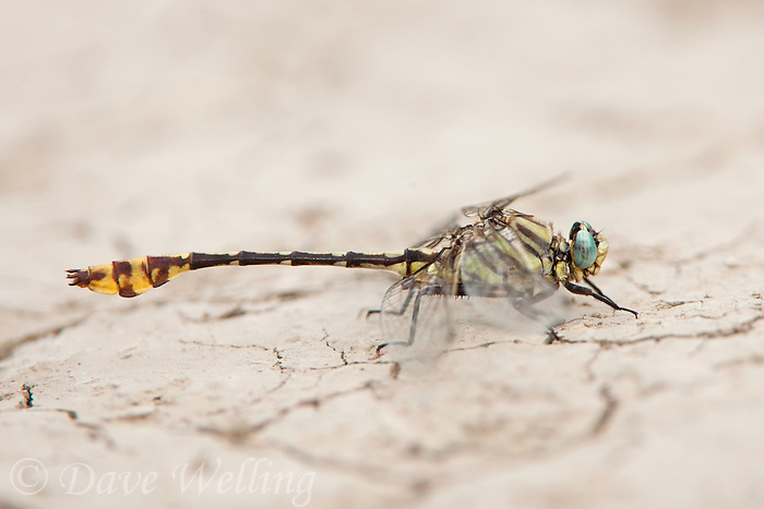 334250006 a wild male tamaulipan clubtail gomphus gonzalezi perches on the ground near the naba site along the rio grande river in the lower rio grande valley in south texas