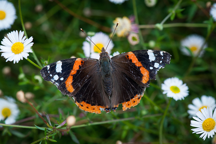 Red admiral (slightly tatty) on Erigeron karvinskianus, late July.