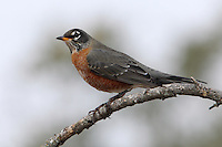American Robins are industrious and authoritarian birds that stand erect, beak tilted upward, to survey their environs.<br /> A gray December morning.