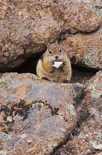 Golden-mantled Ground Squirrel, Spermophilus lateralis, adult eating wild mushroom, Rocky Mountain National Park, Colorado, USA