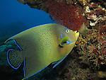 Big Mushroom, Green Island - Semicircle Angelfish (Pomacanthus semicirculatus)
