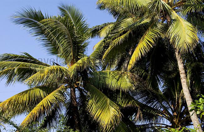 COCONUT-PALM TREES, BETWEEN  BERUWALA AND ALUTGAMA, WESTERN PROVINCE, SRI LANKA..COCONUT-PALM-TREES, COCOS NUCIFERA, NATURE, TREES, FOREST, BOTANIC, DOMESTIC-PLANT, PALMAE, PALMEN, FOOD, AGRICULTURE, 6 286 ..©Photo: Paul J.Trummer, Mauren / Liechtenstein www.travel-lightart.com