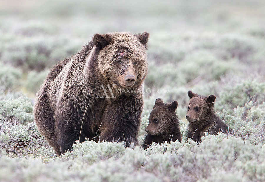 A grizzly bear family sticks close together in Yellowstone.