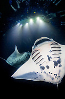reef manta rays, Manta alfredi, feeding frenzy at night, funneling plankton gathered around divers' flash lights, Kona Coast, Big Island, Hawaii, USA, Pacific Ocean