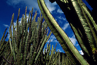 Cactus forest in Oaxacan highlands. The massive candelabras are Myrtillocactus geometrizans.