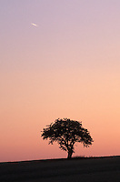 Tree Silhouetted Against Summer Dusk Sky with Airplane Contrail