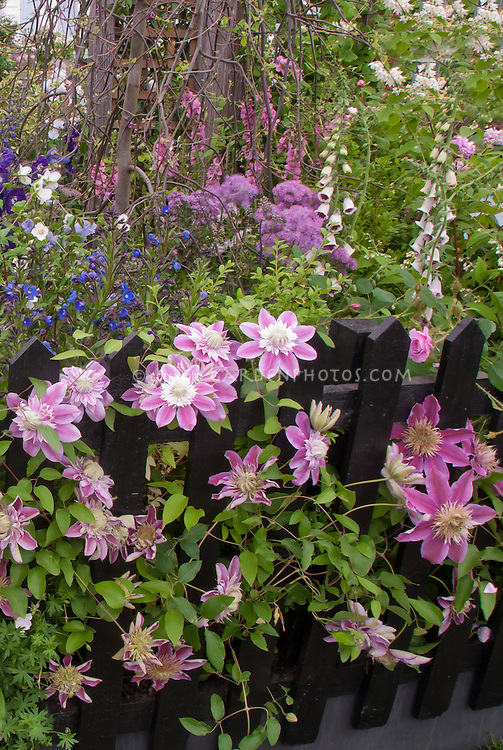 Lush Flower Garden With Clematis Josephine Vine, Double Center Pink,  Climbing On Black Picket