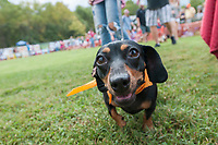 NWA Democrat-Gazette/J.T. WAMPLER An elite racing dachshund participates in the Dog Parade Saturday Oct. 6, 2018 at the 12th Annual ÒWeiner Takes AllÓ Arkansas State Championship Weiner Dog Races in Bella Vista. The event is an annual fundraiser for the Bella Vista animal shelter. For information about adopting or donating visit http://bellavista-animalshelter.org/