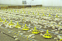 Broilers in a broiler house.