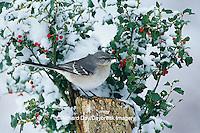 01395-02518 Northern Mockingbird (Mimus polyglottos) on stump near China Holly (Ilex cornuta) in winter Marion Co.  IL