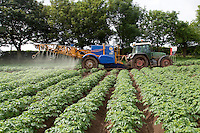 Applying blight spray to Desiree potatoes - Lincolnshire, June