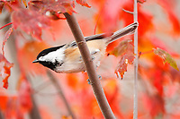 black-capped chickadee, Poecile atricapillus, perched among red maple leaves in fall, Nova Scotia, Canada