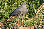 Crane Hawk (Geranospiza caerulescens), Pantanal, Mato Grosso, Brazil