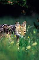 Coyote.  Western U.S., summer.