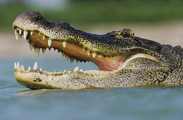 American Alligator (Alligator mississipiensis), adult mouth open, Rio Grande Valley, Texas, USA