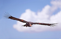 California condor (Gymnogyps californianus), soaring flight against blue sky and cloud
