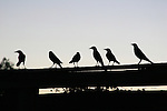 Birds on an old fence in Texas at sunset