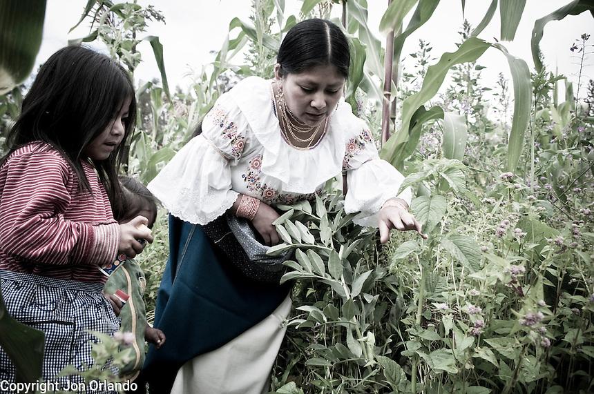 Members of The Pakarinka Sisari Ancestral Wisdom Center near Otavalo, Ecuador, harvest fava beans.